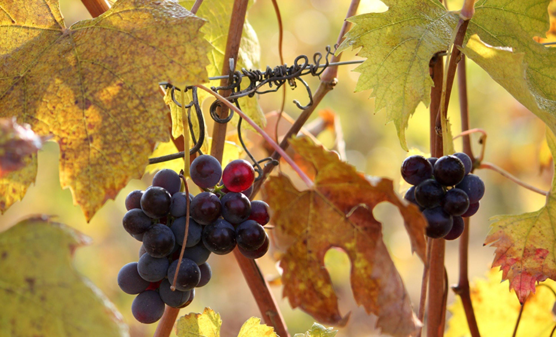 Grappoli-in-autunno