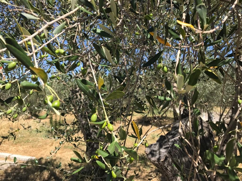 Olive2017